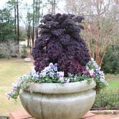 Ornamental Kale and Cabbages