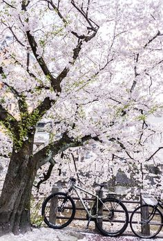 the best cycling route: to ride a bike across the road when sakura flowers, cherry blossoms in full bloom Cherry Blossom Season, Cherry Blossoms, Sun View, Visit Japan, Japanese Design, Four Seasons, Amazing Nature, Nature Photography, Sunrise