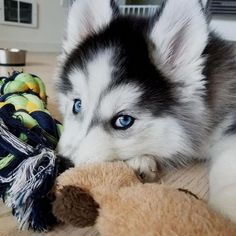 Alaskan Husky Dogs My puppy eyes used to be more effective. : Credit to : DoubleTap Alaskan Husky Dogs My puppy eyes used to be more effective. Husky Pet, Cute Husky, Siberian Husky Puppies, Siberian Huskies, Alaskan Husky, Cute Puppies, Cute Dogs, Dogs And Puppies, Corgi Puppies