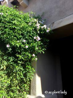 Pink Bower Vine (Pandorea jasminoides) decorates a courtyard.