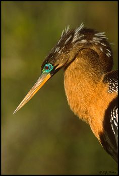 Anhinga by E.J. Peiker  Typically found in fresh water. Anhingas spear fish with their long pointed bills and frequently swim submerged to the neck