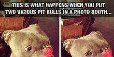 """I want to try that with my """"vicious"""" pibble"""