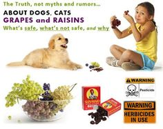 Dogs, Cats, Grapes (and Raisins) – What's Safe, Not Safe, Cautions, Treatment   Some grape products are safe, and even health supporting. Other grape products can cause grape poisoning, and raisin poisoning – but it's not actually the grape or raisin that causes the poisoning…  It's time for the truth – facts not fiction!...