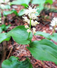 FALSE LILY-OF-THE-VALLEY: (Maianthemum canadense). Photographed at Sahli Nature Park, Chippewa Twp., Beaver County, PA, May 22, 2016.
