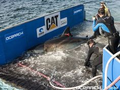 The Ocearch team prepares to capture and tag a 14-foot, 2,300 pound great white shark in August 2013. The shark would become known as Katharine.