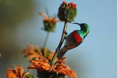 malachite sunbird / sugarbird - regular visitor to our hibiscus bush/tree.*** it has a throaty call but also adds a whistle to it! Hibiscus Bush, Hibiscus Flowers, Interior Garden, Garden Spaces, Malachite, Garden Design, Birds, Animals, Image
