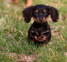 Cute Doxie baby