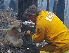 CFA volunteer David Tree giving water to sam the koala