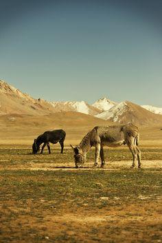 Donkeys, Tajikistan