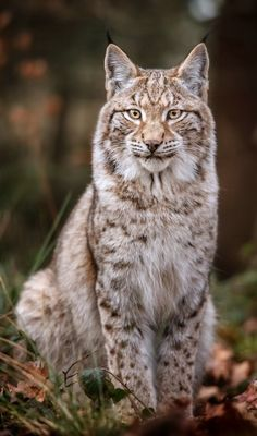 "beautiful-wildlife: "" Lynx by Stefan Betz "" Nature Animals, Animals And Pets, Funny Animals, Cute Animals, Wild Animals, Baby Animals, Animal Gato, Mundo Animal, Beautiful Cats"