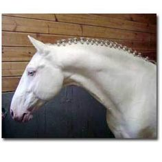 """the Iberian's history takes root about 5,000 BC.  Iberian horses usually stand 15-17 hands.They often have a convex or Roman profile w/ a fairly short but muscular neck that forms a wide arch upon full collection. Legs are fairly muscular & famed for the """"Spanish Walk"""".  Mane & tail are commonly wavy, w/ tail set low.  Coat is white, grey, dapple grey, black or brown. May change to grey or dapple grey as the animal ages. Palomino, buckskin & cremello are rarest 