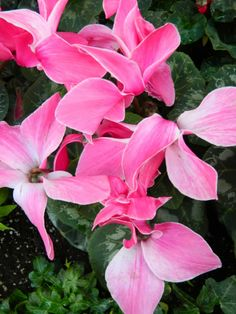 Allan Gardens Conservatory 2014 Spring Flower Show pink cyclamen by garden muses-not another Toronto gardening blog