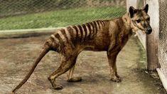 Benjamin known to be the last Thylacine (Tasmanian Tiger) at the Beaumaris Zoo in Hobart Tasmania ca. 1933.