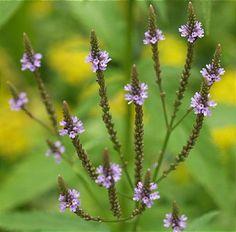 매혹의 꽃 마편초 (vervain)