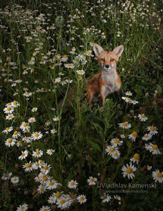 Red Fox by Vladislav Kamenski