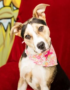Have you met pretty little Darla? She's waiting for a furever home! She's about 10 months old and as playful and loving as can be.   Darla's adoption fee is $95. She's spayed, up to date on shots and microchipped. Mobile, AL. Animal Rescue Foundation. Sept. 2014. www.animalrescuemobile.org