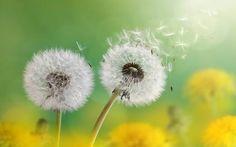 Wish ... upon a dandelion  ✨