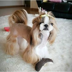 More About Playfull Shih Tzu And Kids Perro Shih Tzu, Shih Tzu Puppy, Shih Tzus, Dog Grooming Styles, Pet Grooming, Shih Tzu Hair Styles, Cute Puppies, Cute Dogs, Dog Haircuts