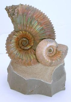 Ammonite in its natural iridescence    http://pages.stat.wisc.edu/~ifischer/Collections/Fossils/Images/kosmoceras.jpg