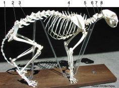 cat skeleton | Cat skeleton side view Cat Skeleton, Cat Anatomy, Skeletons, Side View, Sculpting, Fun Facts, Cats, Artist, Sculpture