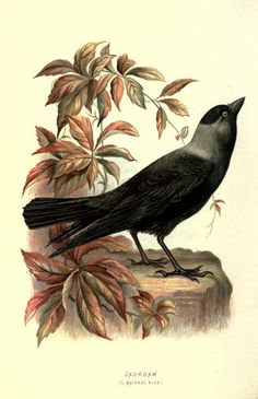 Jackdaw, Familiar Wild Birds, W. Swaysland, 1883.