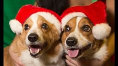 The Daily Corgi: Saturday #Corgi Smilers: Christmas Edition!