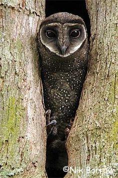 Sooty Owl photo by nik borrow
