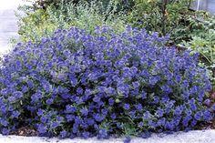 Caryopteris x clandonensis Sapphire Surftm ('Blauer Splatz')