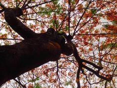 Uma corzinha nesse céu cinza  . . . . #flamboyant #brasília #árvoresdebrasília #saved #igersbsb
