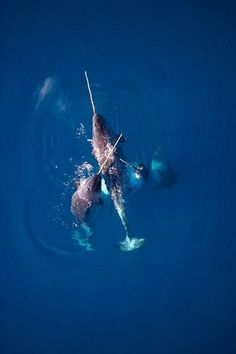 Narwhals gather en masse to eat codfish by Paul Nicklen Orcas, Beautiful Creatures, Animals Beautiful, Life Aquatic, Wale, Underwater Life, Deep Blue Sea, Ocean Creatures, Fauna