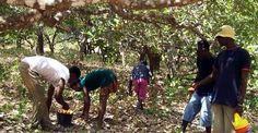 Casamance: le triste destin des dames du Cajou