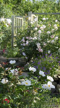 Сад роз Вечерница Матроны (Hesperis matronalis), Пион Krinkled White, Лаванда узколистная, The Generous Gardener, Graciosa