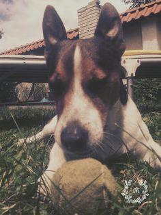 Boston Terrier, My Photos, Corgi, Animals, Boston Terriers, Corgis, Animales, Animaux, Animal
