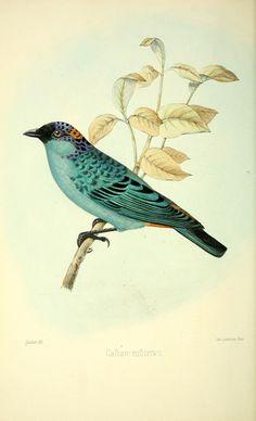 Dessins oiseaux callistes - Oiseau calliste ruficervix - Gravures, illustrations, dessins, images