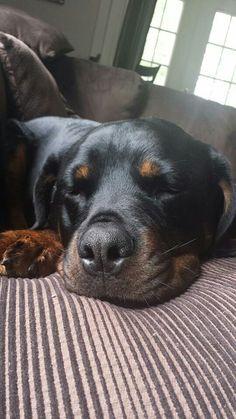 Sleepy Rottweiler