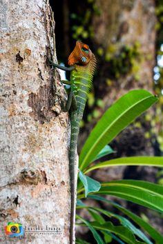 The Common Green Forest Lizard (Calotes calotes) by Anushka Eranga