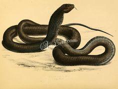 reptiles_and_amphibias-00796  naia haje Snouted cobra Naja