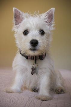 My Westie puppy Kensington.  Such a cutie!