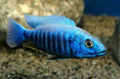 Sciaenochromis - cichlidés