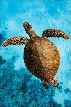 Sea Turtle Wild Creatures, Ocean Creatures, Turtle Love, Green Turtle, Kawaii Turtle, Baby Sea Turtles, African Cichlids, Wildlife Nature, Reptiles And Amphibians