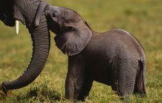 China wird den legalen Handel mit Elfenbein bis Ende des Jahres verbieten - ein Meilenstein für den Elefantenschutz! China ist der weltweit größte Markt für Elfenbein. Seine Schließung ist eine wichtige Voraussetzung, um die Wilderei auf Elefanten in Afrika einzudämmen, denn der legale Verkauf bietet Schlupflöcher für den Handel mit gewildertem, illegalem Elfenbein. Es ist auch ein wichtiges Signal an die weltweit organisierte Wilderei, dass ihr Geschäft keine Zukunft hat.