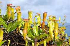 Nepenthes pervillei: the incredible carnivorous plant of Seychelles