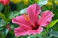pink hibiscus HD Wallpaper. Free HQ Wallpaper.