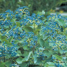 Blue Muffin® - Arrowwood Viburnum - Viburnum dentatum