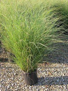 Miscanthus sinensis 'Gracillimus'. Maiden Grass.