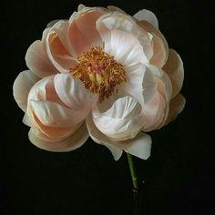Gorgeous Big Flowers, Beautiful Flowers, Floral Photography, Flower Art, Planting Flowers, Flower Arrangements, Decoration, Plants, Peony