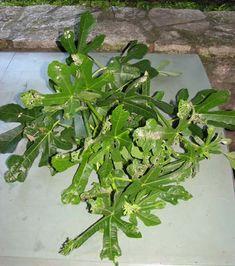 Rameaux de figuier herbacés à bouturer