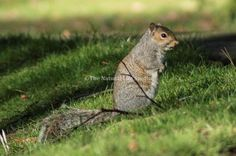 This squirrel was enjoying a lovely day playing with one of its parents. Taken at Nottingham's Woodthorpe Park.