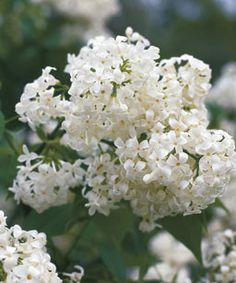 Sister Justina, a French hybrid, is a favorite white lilac. Light Purple Flowers, Lilac Flowers, Purple Lilac, Large Flowers, Dwarf Lilac Tree, Japanese Tree, Street Trees, Syringa, Fine Gardening