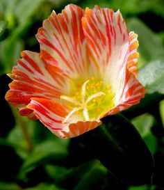 Tigre - Portulaca-add to lily garden